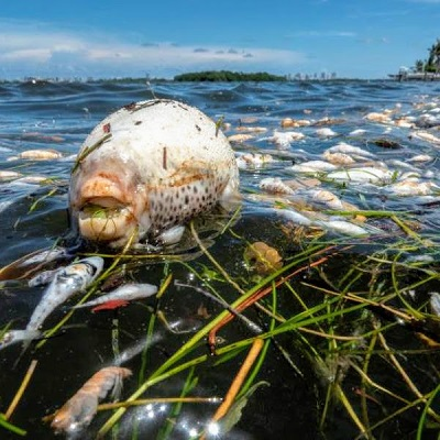 Fish Kill in Biscayne Bay